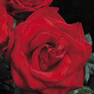 Always and Forever™ Hybrid Tea Rose