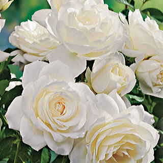 Moondance 24-inch Patio Rose