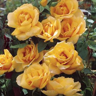 Scent from Above™ Climbing Rose