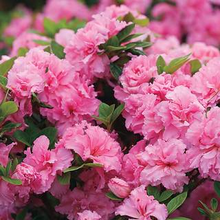 Rhododendron Bloom-a-Thon® Pink Double
