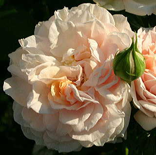 Cream™ Veranda® Floribunda Rose
