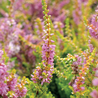 Calluna Winter Chocolate