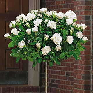 Pope John Paul II 36-inch Standard Tree Rose