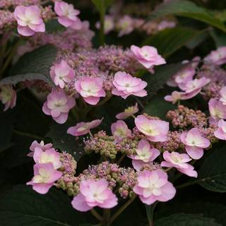 Hydrangea Tiny Tuff Stuff™ Mountain
