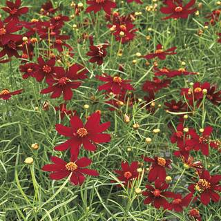 Coreopsis Red Satin