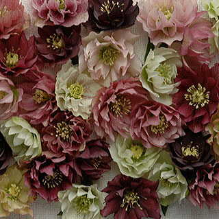 Helleborus Mardi Gras Double Mix