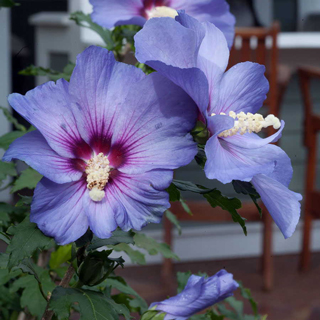 Shop All Hibiscus (Rose of Sharon)