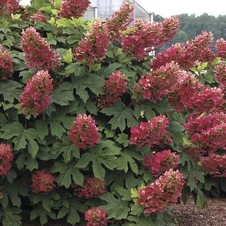 Hydrangea Ruby Slippers