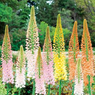 Eremurus Ruiters Hybrid Mix - Pack of 3