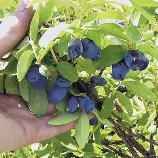 Lonicera Berry Blue™