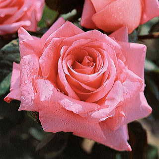 Beautiful Dreamer 24-inch Patio Tree Rose