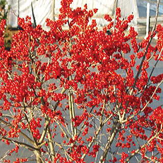 Ilex Berry Poppins®