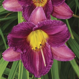 Hemerocallis Purple dOro