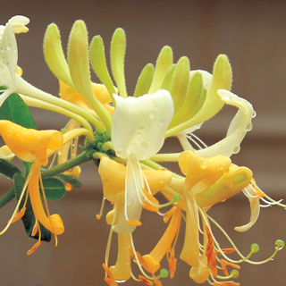 Shop All Lonicera (Honeysuckle)