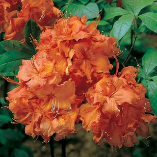 Rhododendron Gibraltar