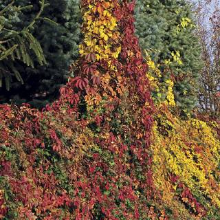 Parthenocissus Red Wall™