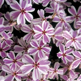 Candy Stripe Creeping Phlox (pack of 6)