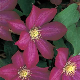 Clematis Bourbon™