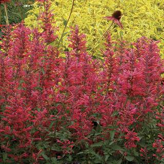 Agastache Kudos™ Coral