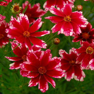 Coreopsis Hardy Jewel™ Ruby Frost