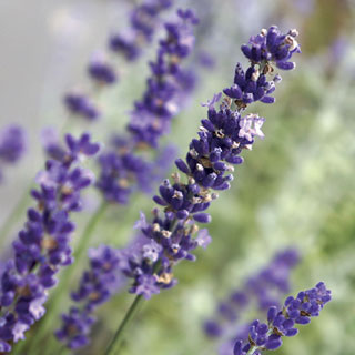 Shop All Lavandula (Lavender)