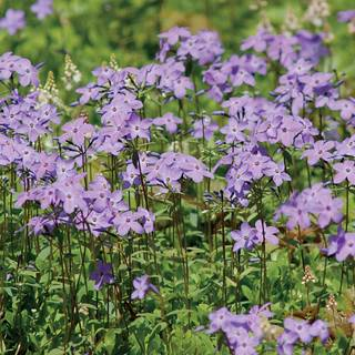 Blue Moon Woodland Phlox