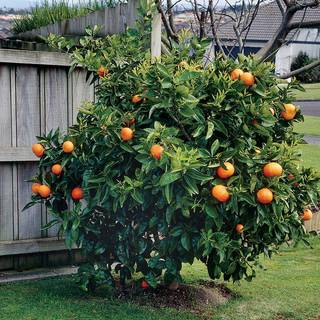 Citrus Washington Navel Orange