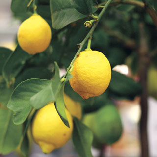 Citrus Eureka Lemon