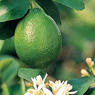 Citrus Bearss Lime