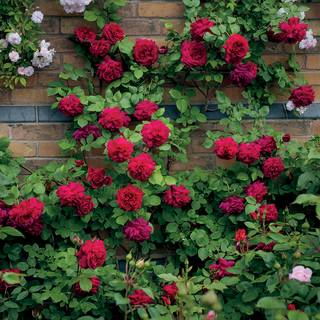 Rosa Tess of the dUrbervilles®