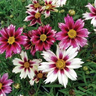 Shop All Coreopsis