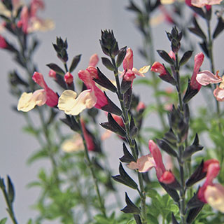 Salvia Suncrest Autumn Moon