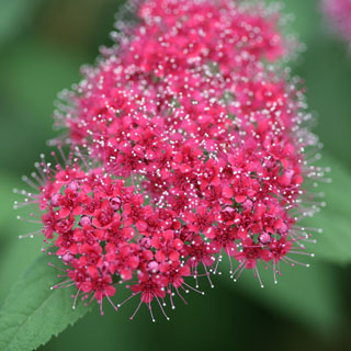 Spirea Double Play® Red Image