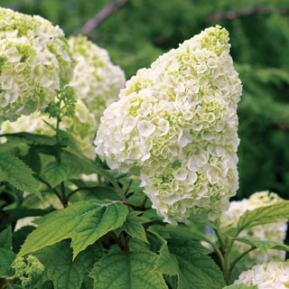 Shop All Oakleaf Hydrangea