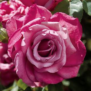 Rosa Heirloom