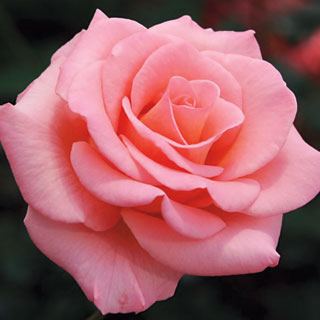 Flawless® Flora-Tea Rose