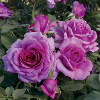 Simply Magnifiscent Grandiflora Rose
