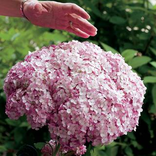Hydrangea Aborescens Incrediball Blush