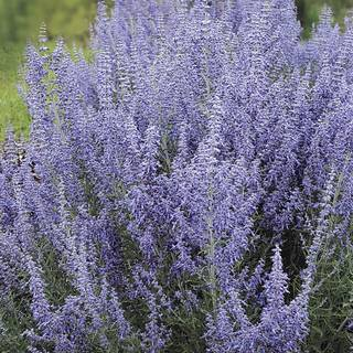 Shop All Perovskia (Russian Sage)