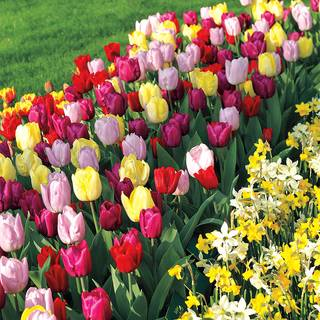 Tulip Tutti Fruitti Blend (Pack of 10)