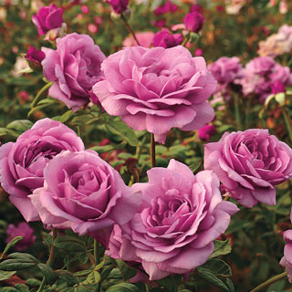 Sugar Plum Hybrid Tea Rose