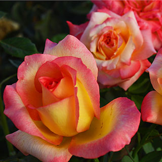 Royal Welcome™ Hybrid Tea Rose