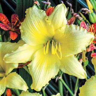 Hemerocallis Big Time Happy