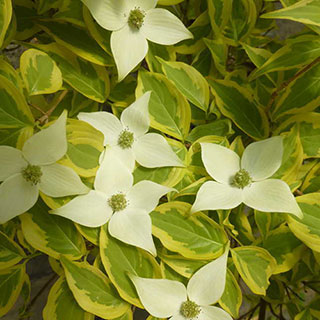Cornus Summer Gold