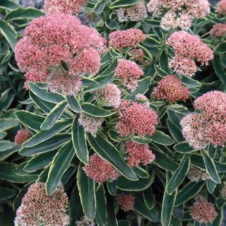 Sedum Frosted Fire