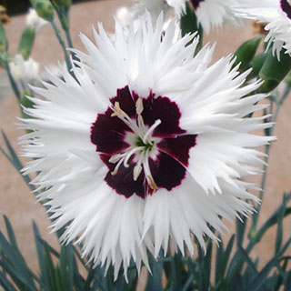 Dianthus Star Single™ Stargazer