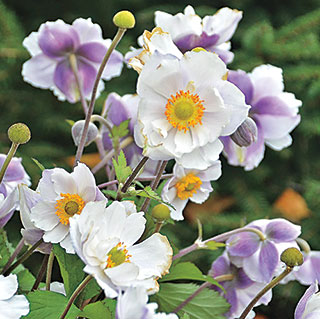 Shop All Anemone (Windflower)