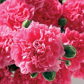 Dianthus Scent First® Pink FizzImage