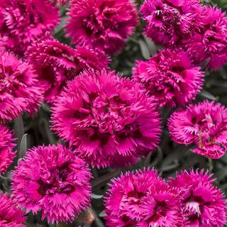 Dianthus Fruit Punch® Spiked PunchImage