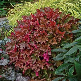 Heuchera Dolce® Cinnamon Curls™